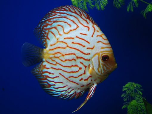 Jack Wattley Discus Fish | Affordable Wild And Hybrid Discus