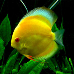 albino-yellow-crystal-at-wattley-discus
