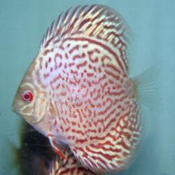Albino-Yellow-lepard-at-hatchery-at-wattley-discus