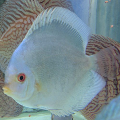 blue-panda-solid-at-wattley-discus
