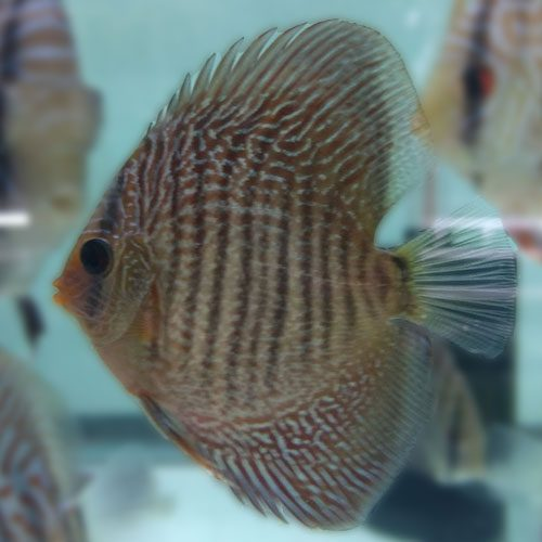 Blue-Snakeskin-at-wattley-discus