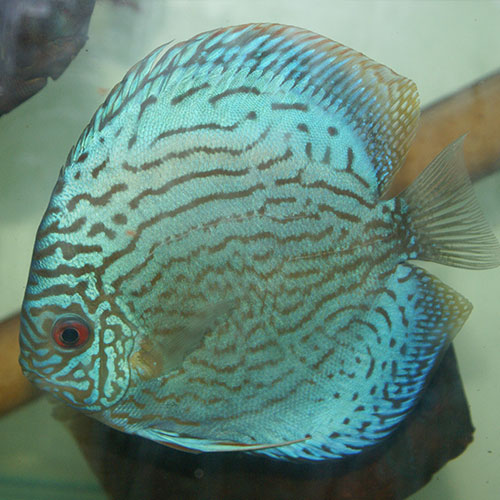 blue-striated-turquoise-at-wattley-discus