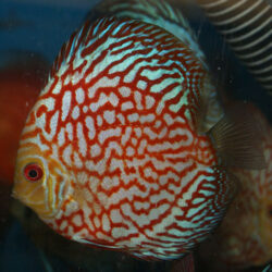 checkerboard-red-panda-at-wattley-discus