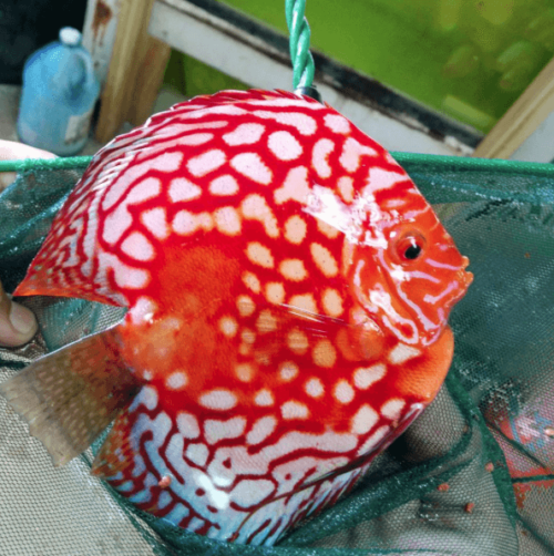 High Body Rafflesias by wattley discus