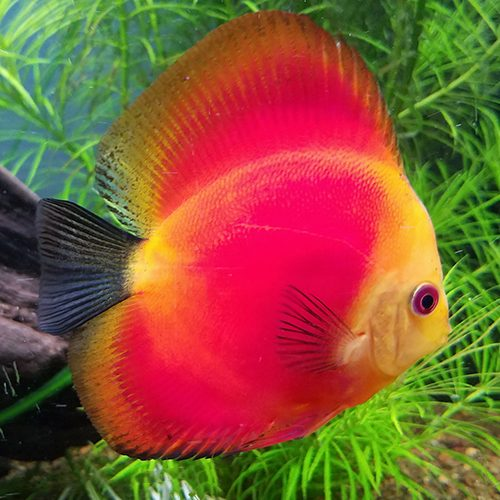 Red-Melon-in-planted-tank-wattley-discus