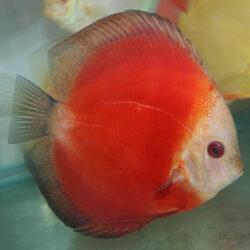 Red-Melon-wattley-discus