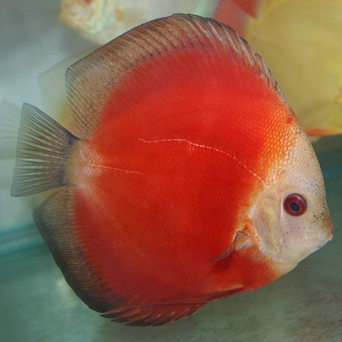 Red-Melon-wattley-discus
