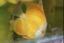 Marlboro Yellow