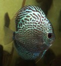 blue Snakeskin by wattley discus