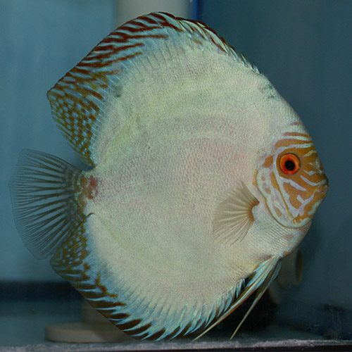 solid-blue-panda-at-wattley-discus