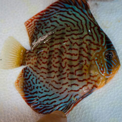 Striated-Red-wattley-discus