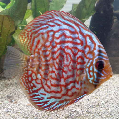 striated-turquoise-at-wattley-discus