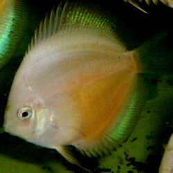 yellow-passion-at-wattley-discus