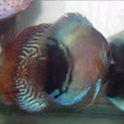 black-and-blue-diamond-wattley-discus