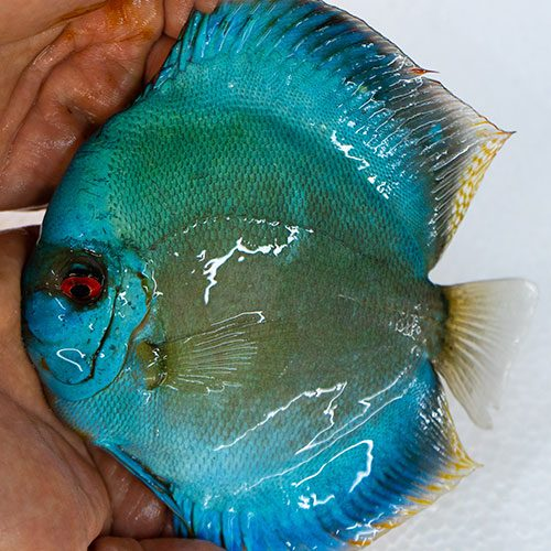 blue-diamond-at-wattley-discus
