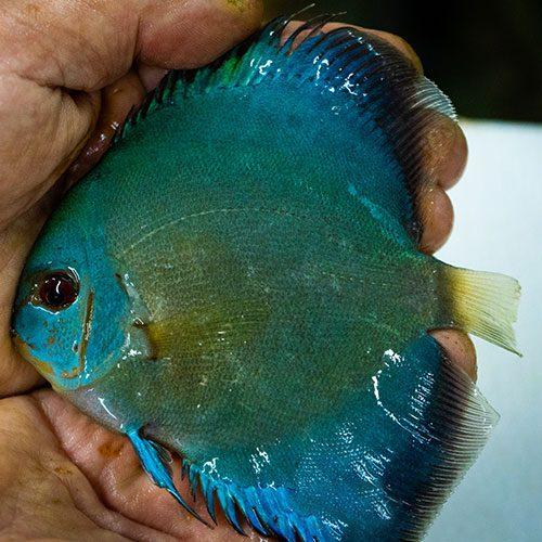 cobalt-blue-wattley-discus