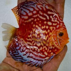 high-body-rafflesia-wattley-discus