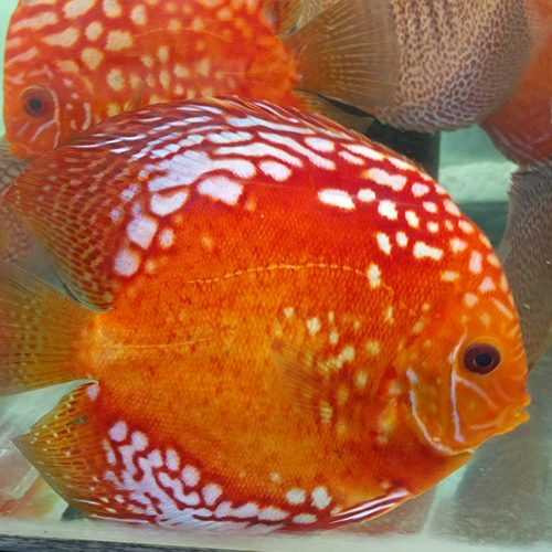 high-body-reflesia-by-wattley-discus
