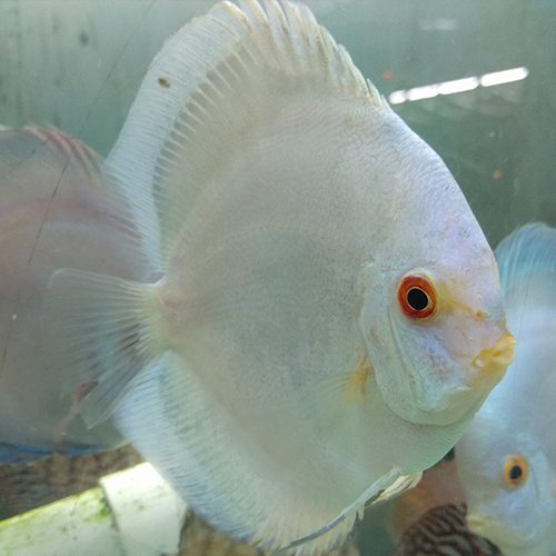 large-blue-panda-solid-at-wattley-discus