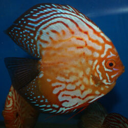 large-high-body-blue-panda-by-wattley-discus