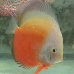large-red-passion-at-wattley-discus