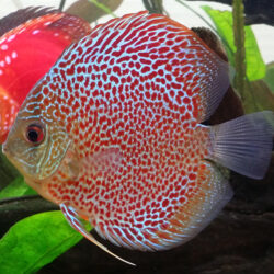 leopard-in-planted-tank-at-wattley-discus