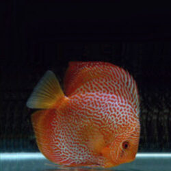 red-snakeskin-wattley-discus