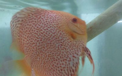 Video Eye Candy: Albino Yellow Leopards Battling For spawning room