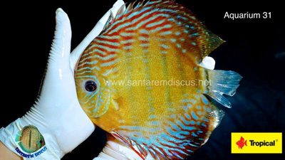 Wattley Discus Becomes Santarem Discus Exclusive Distributor For The U.S.