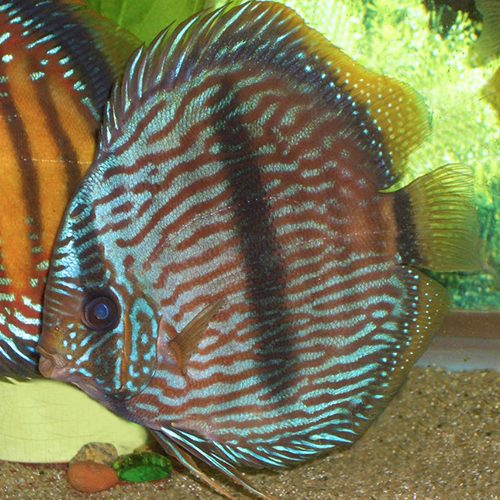 blue-heckles-in-planted-tank-at-wattley-discus