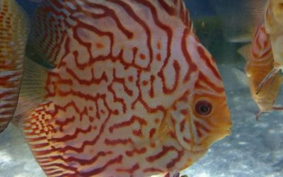 How To Get Discus To Breed