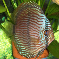 blue-heckle-in-planted-tank-at-wattley-discus