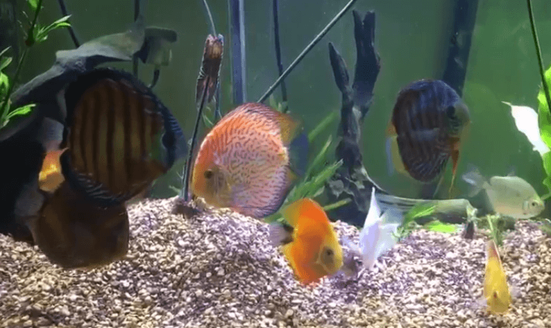 Mixing Wild Discus With Hybrids