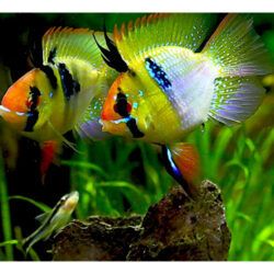 german-blue-bubble-ram-at-wattley-discus