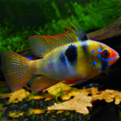 german-rams-wattley-discus