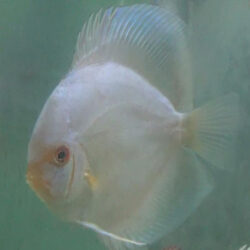 albino-blue-diamond-at-wattley-discus