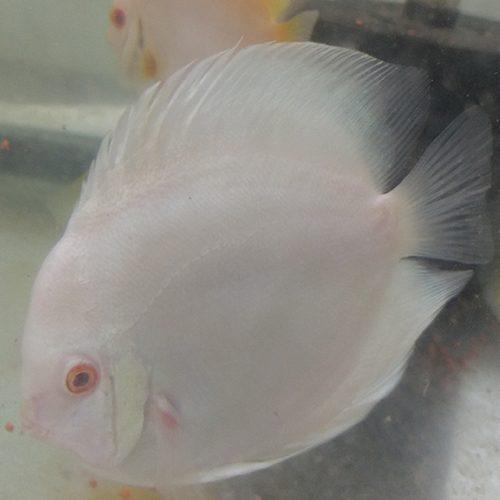 albino-blue-diamond-feeding-at-wattley-discus