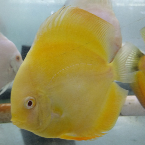 albino-yellow-crystal-at-hatchery-at-wattley-discus