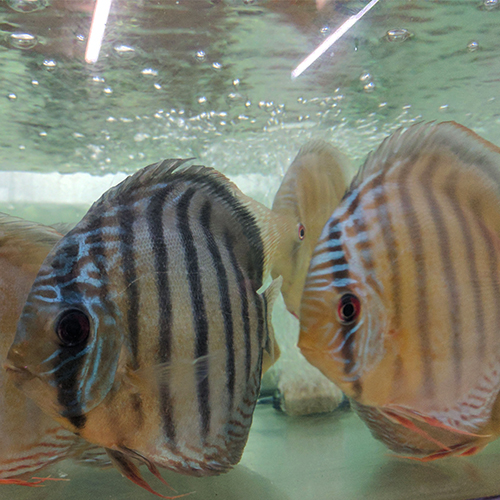 Wild Discus From The Amazon