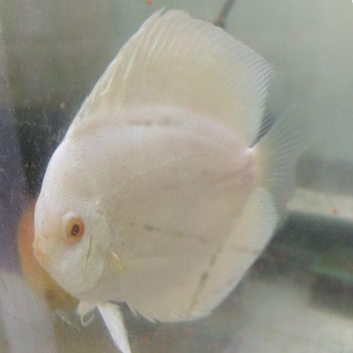 fat-albino-blue-diamond-at-wattley-discus