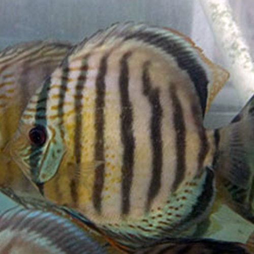 wild-discus-tefe-green-wattley-discus