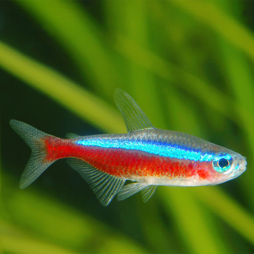 Cardinal-Tetra-at-wattley-discus