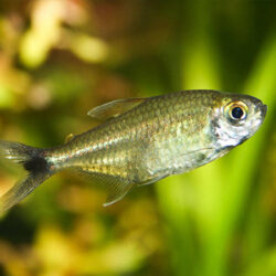 gold-tetra-at-wattley-discus