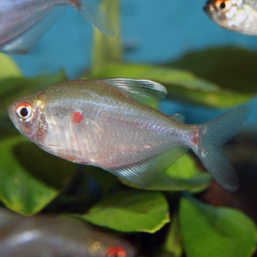 light-red-bleeding-heart-tetra-at-wattley-discus