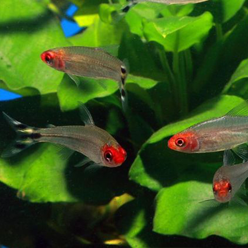 rummy-nose-tetra-3-at-wattley-discus