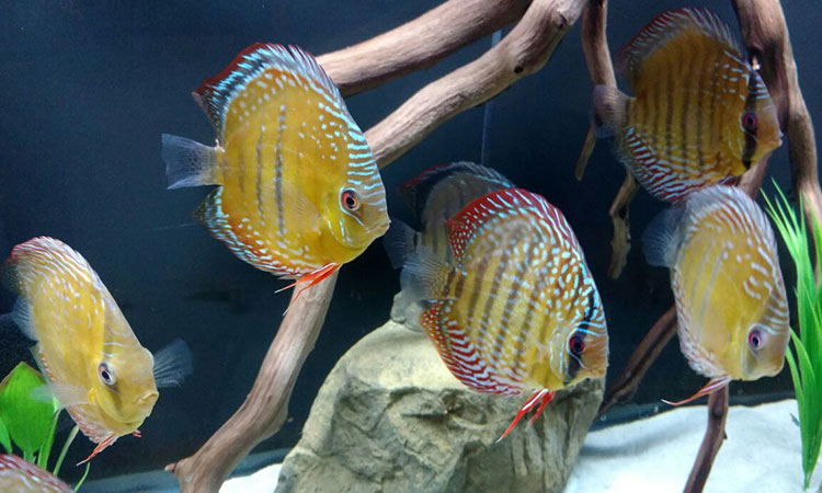 Wild Discus in a 180 Client Tank