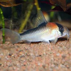 Corydoras-adolfoi-at-wattley-discus