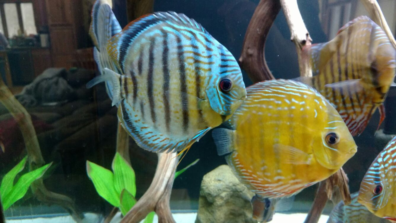 Client In New York Acclimating Wild Discus His 180 Gallon Fish Tank