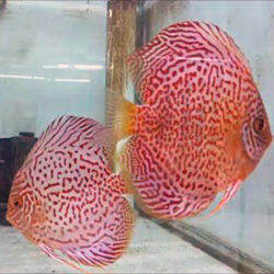 discus-breeding-pairs-leopards-at-wattley-discus
