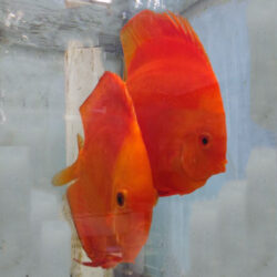discus-breeding-pairs-solid-melons-by-wattley-discus